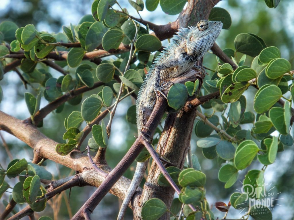 safari uda walawe camaleon