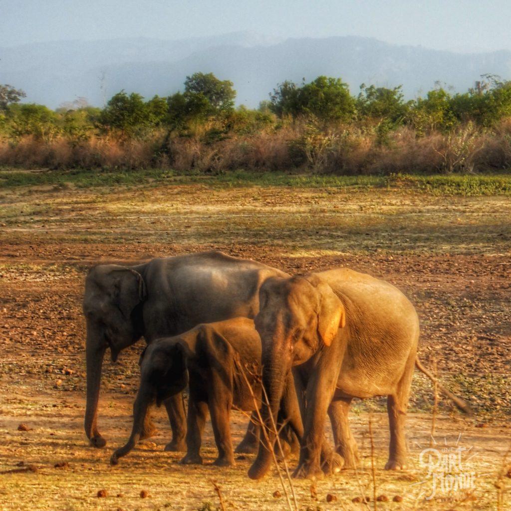 safari uda walawe elephnateaux