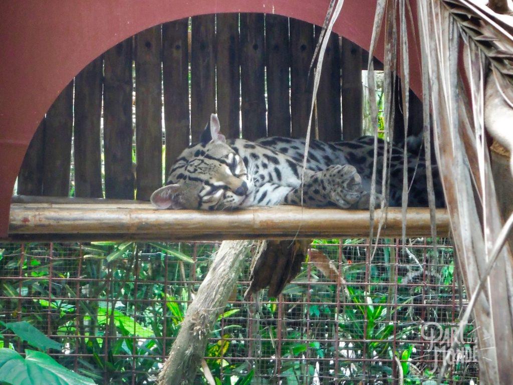 jaguar rescue center ocelot