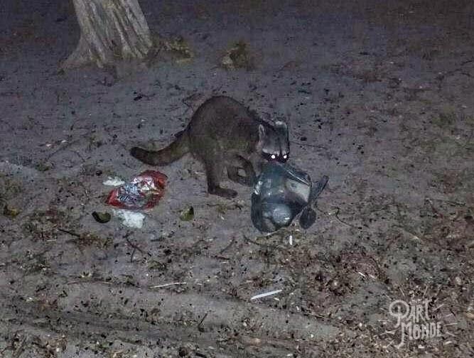 barra honda playa conchal raton laveur