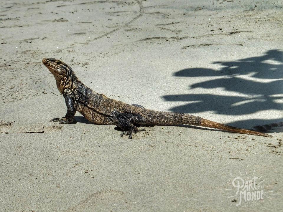 parc national corcovado iguane