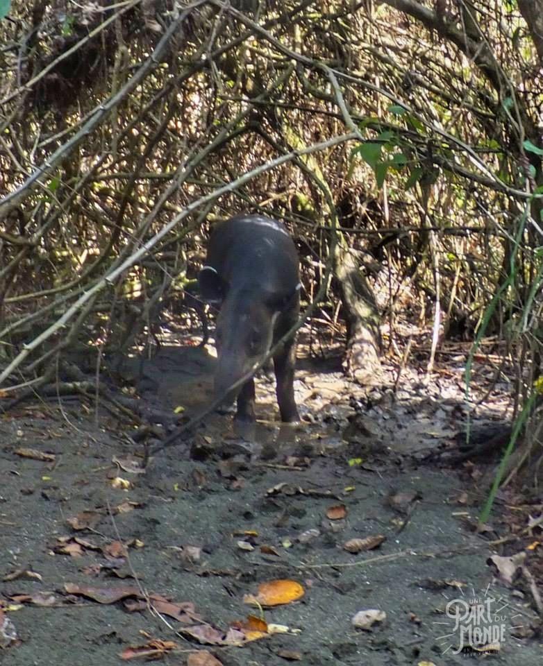 parc national corcovado tapir