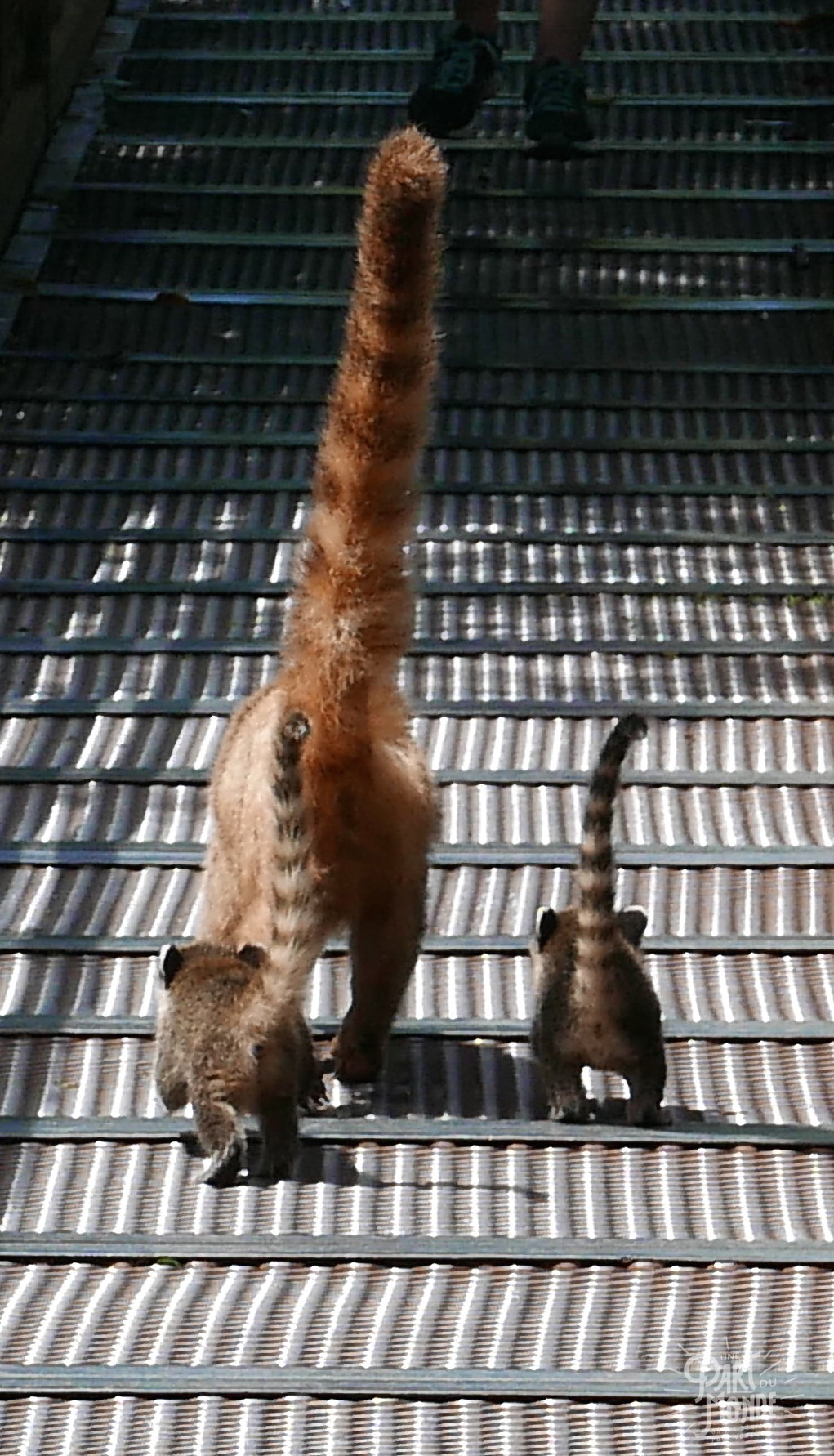 chutes d'iguazu côté argentin ptit culs de coatis