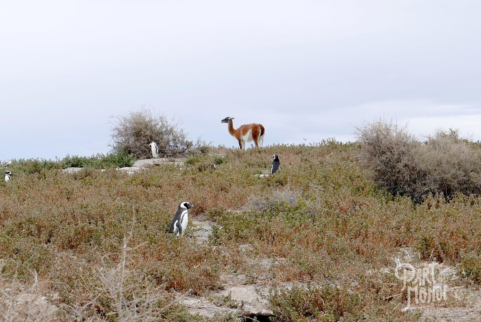 péninsule de valdès alpaga pinguin