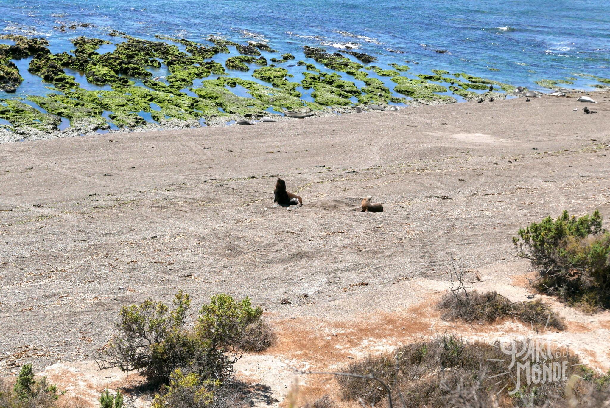 péninsule de valdès lion de mer et femelle