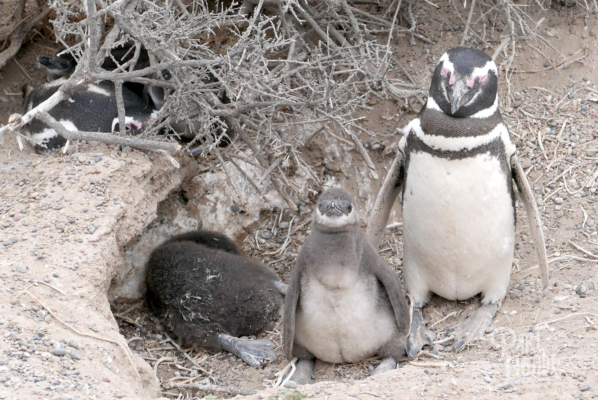 péninsule de valdès punta tombo bébé pinguin