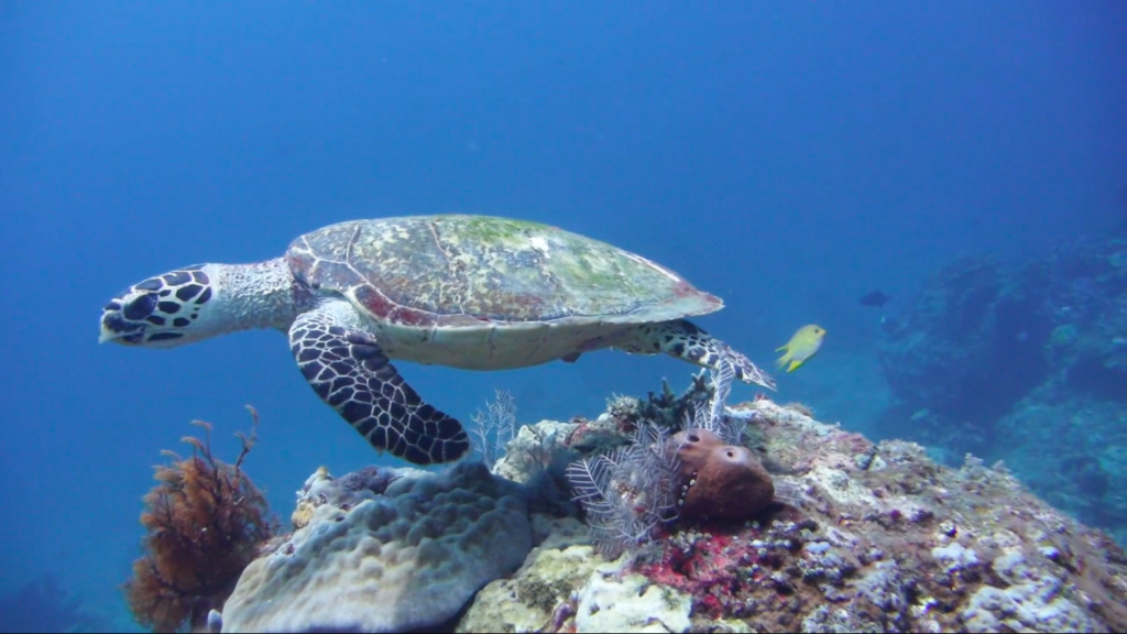 plongée nusa penida tortue de mer