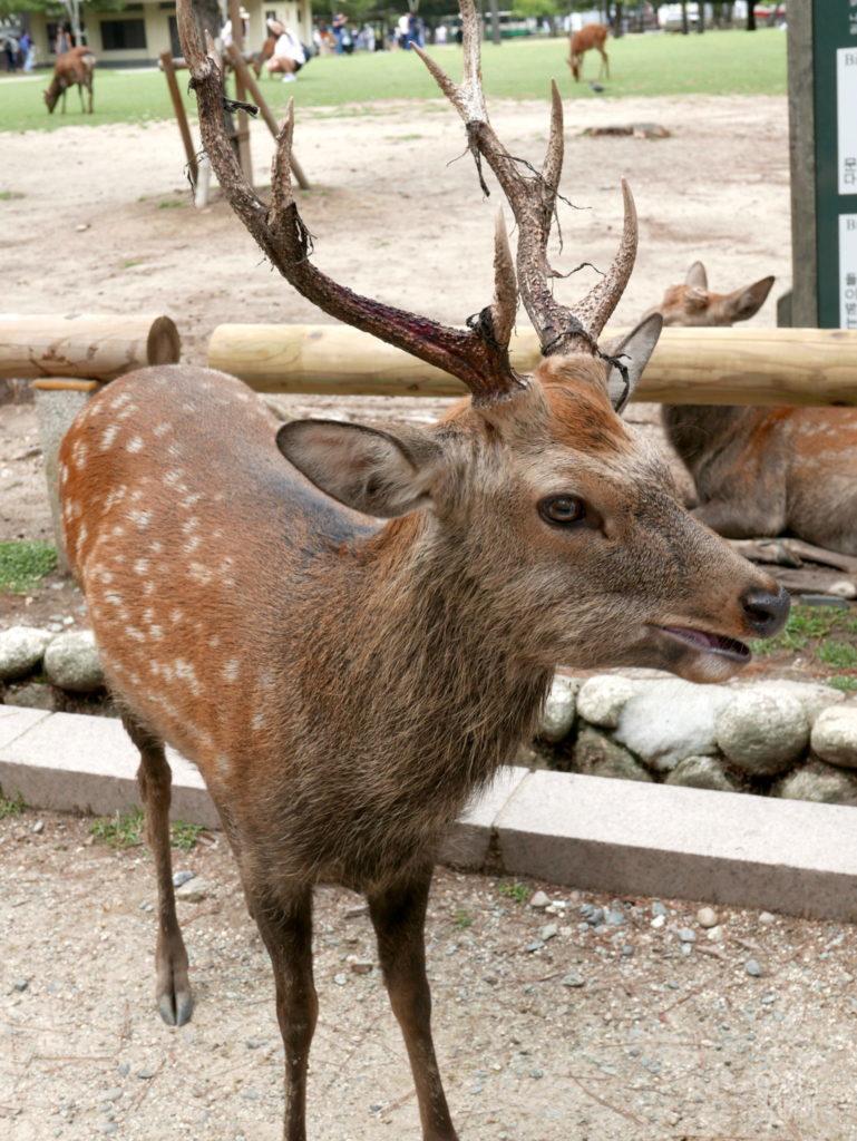 cerf Nara 11 mois de tour du monde