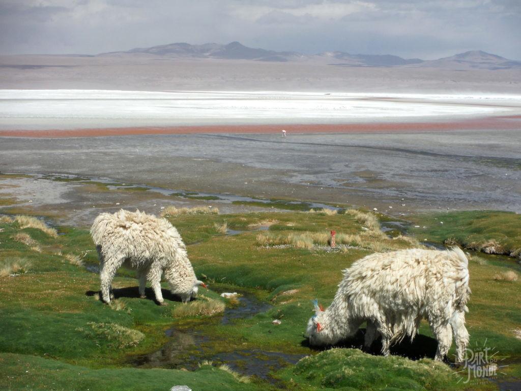 laguna colorada salar uyuni et sud lipez alpaga blanc