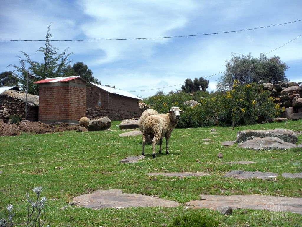 mouton capachica puno ile