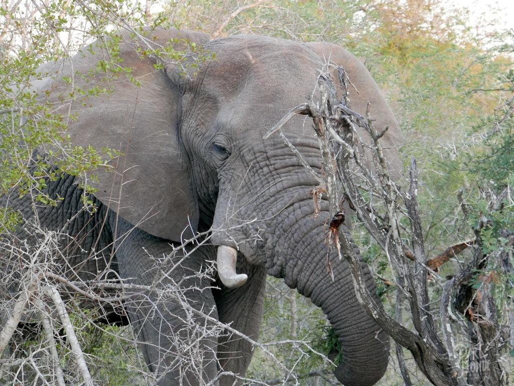 éléphant 2 parc kruger