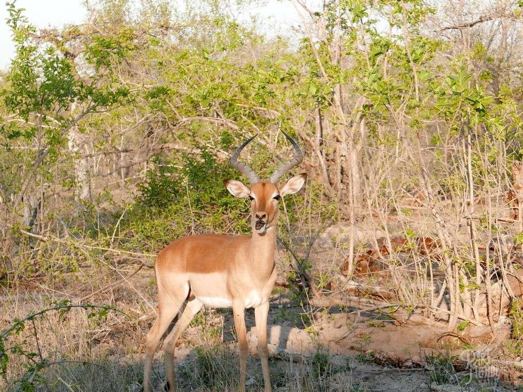 antilope mange parc kruger