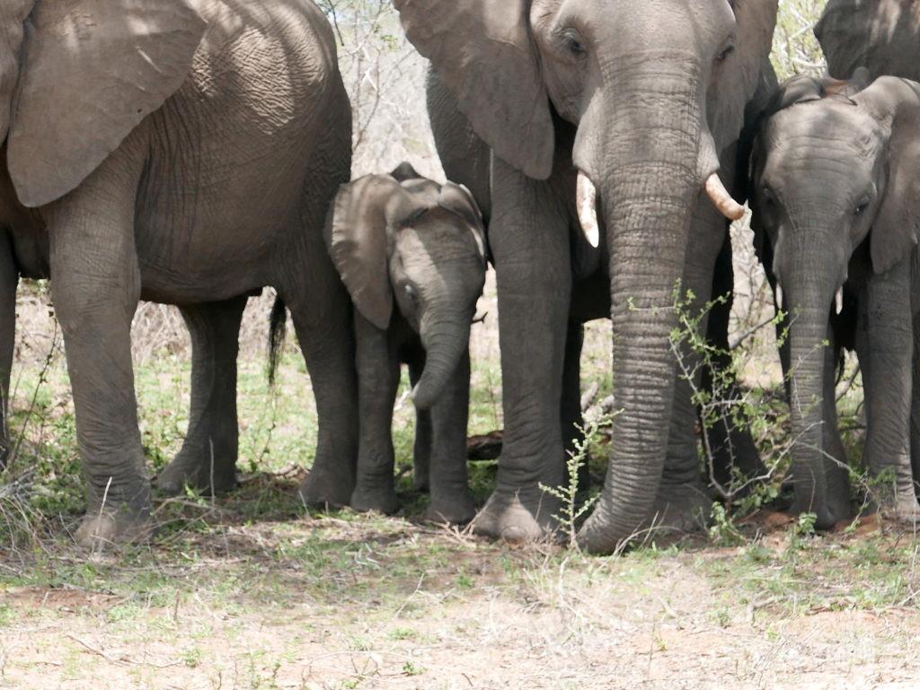 famille bébé éléphant parc kruger