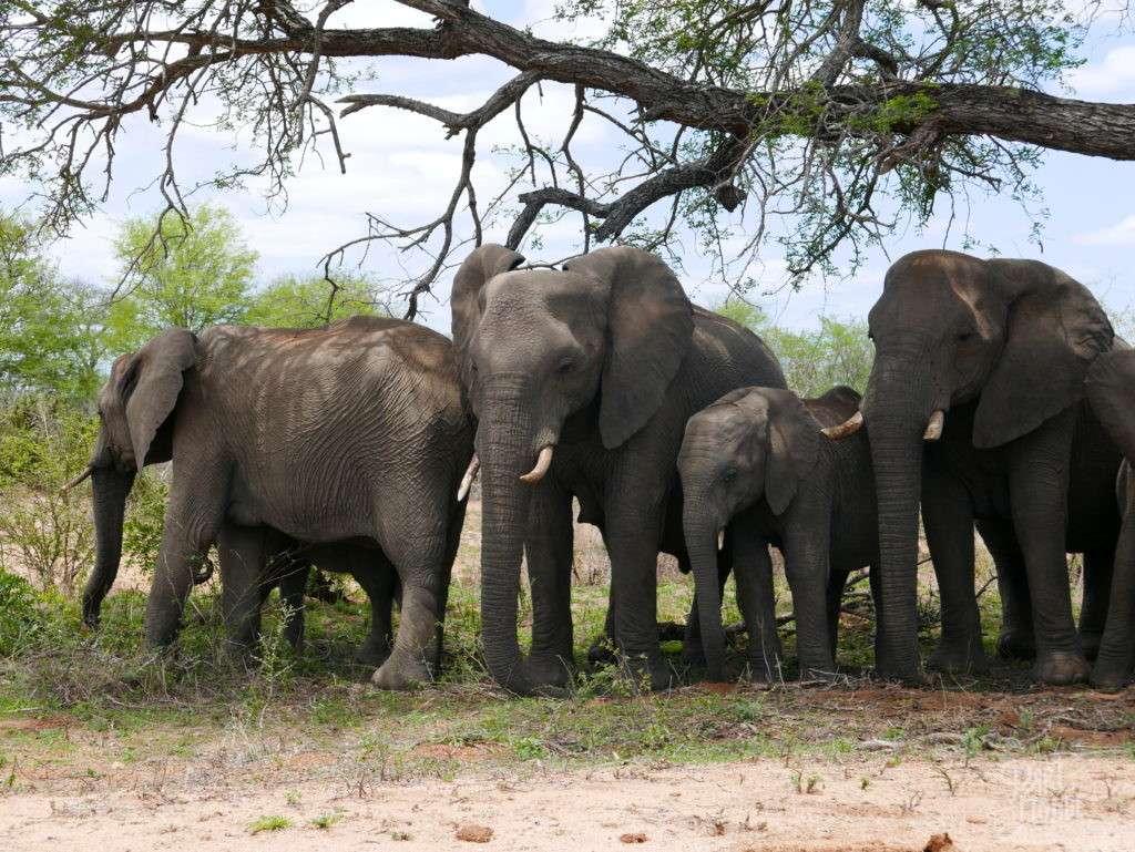famille elephant parc kruger