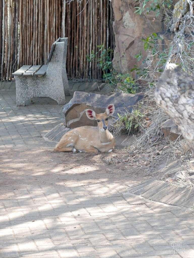 gazelle parc kruger
