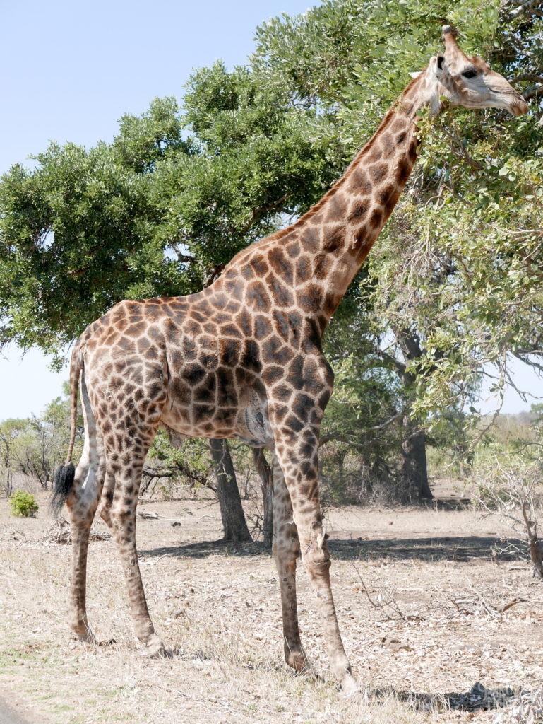 girafe entière parc kruger