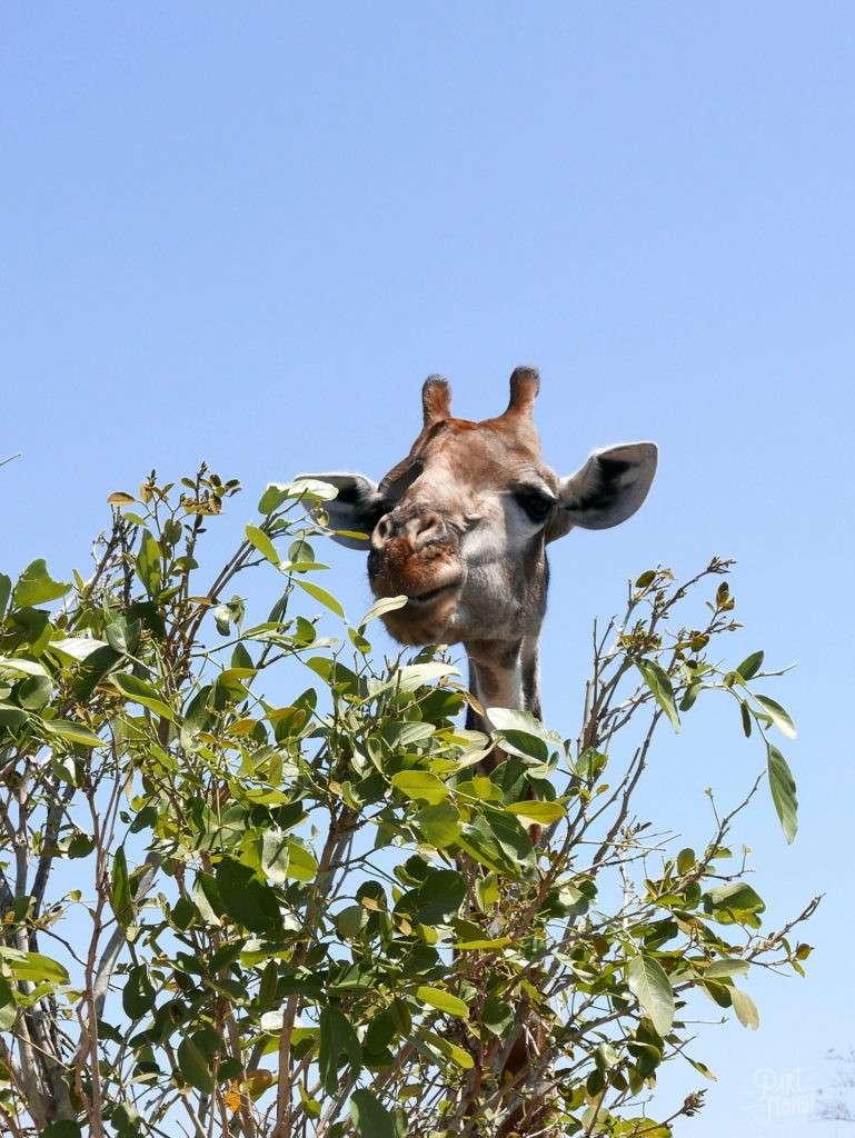 girafe parc kruger
