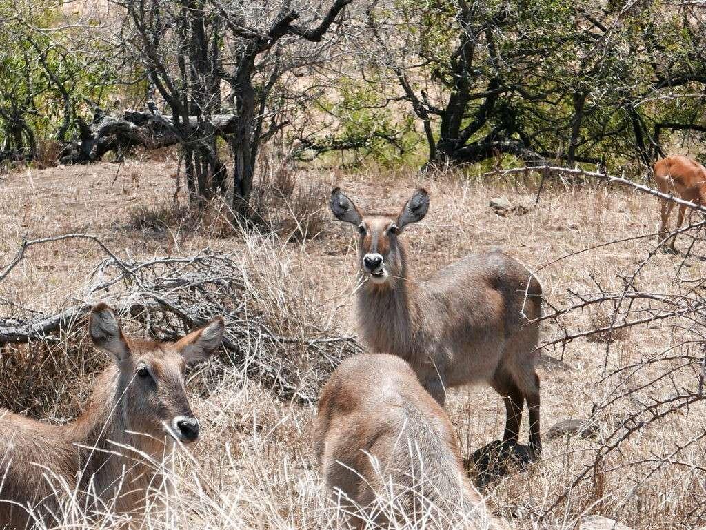 groupe antilope parc kruger