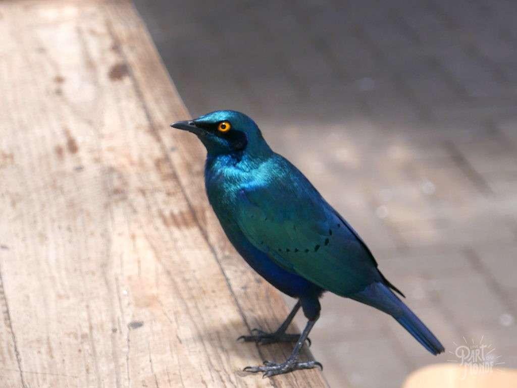 oiseau bleu parc kruger