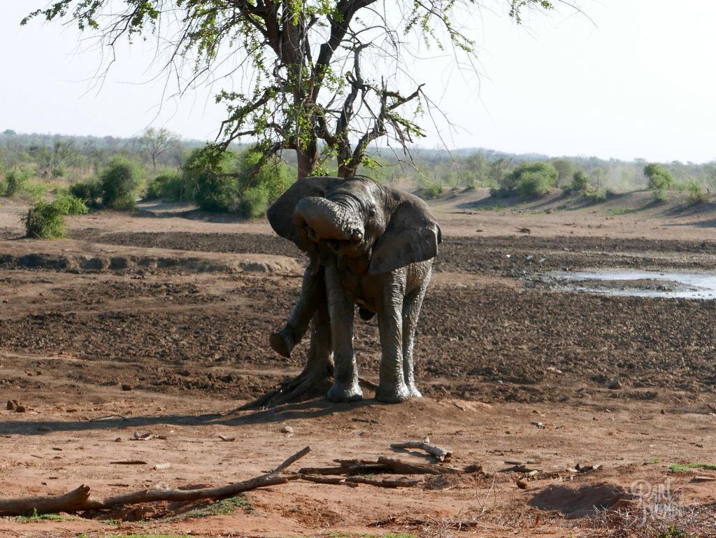 éléphant madikwé arbre