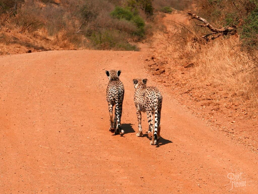 chasse guépard