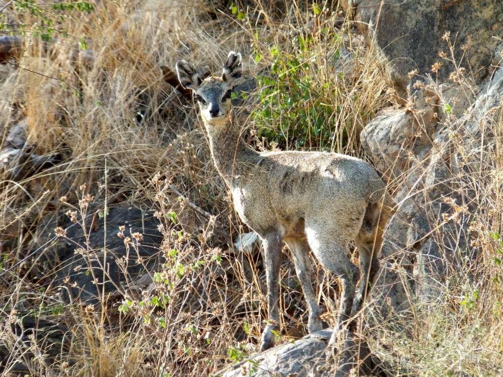 madikwe gazelle2