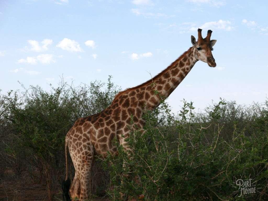 madikwe girafe