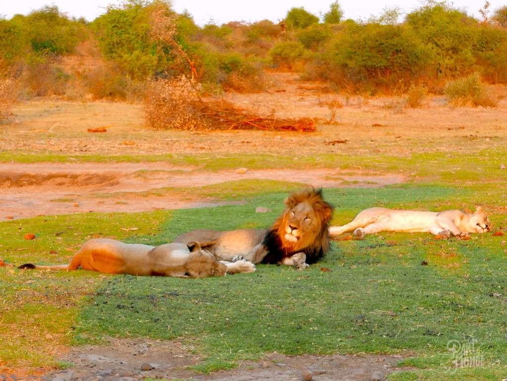 madikwe lion