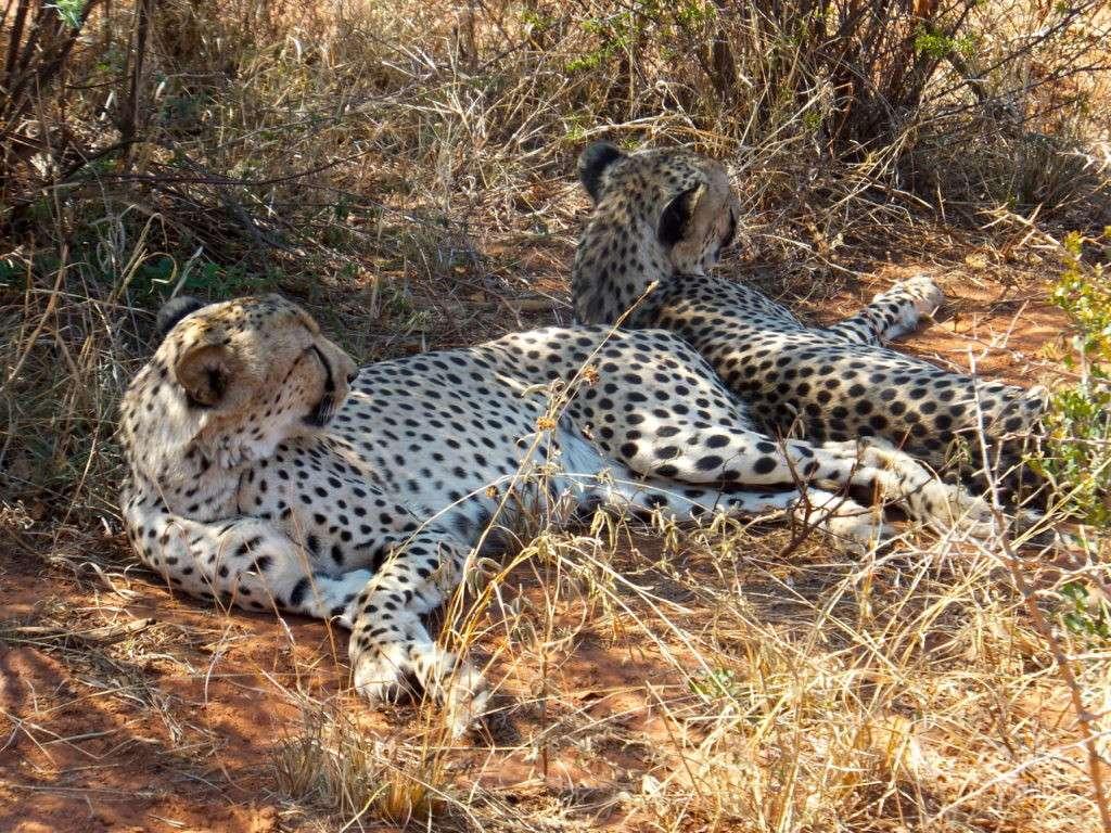 madikwe safari guepard