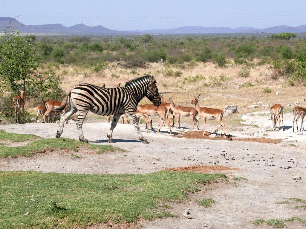 zebre impalas safari