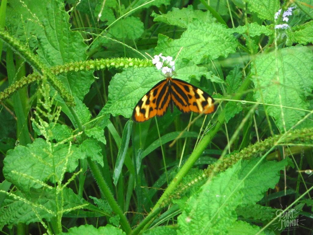 papillon amazonie