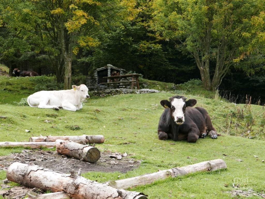 vache monte generoso