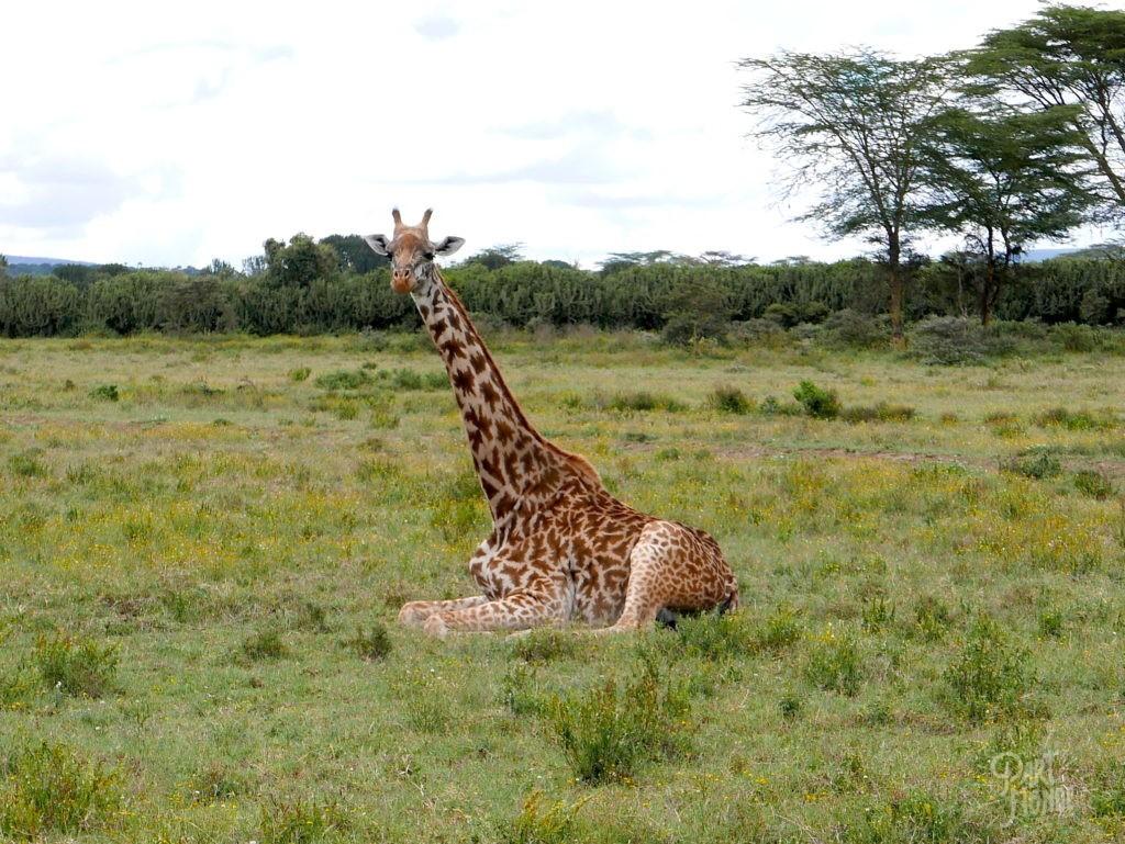 Girafe safari au kenya a cheval
