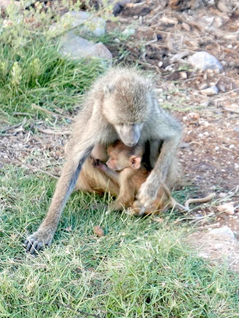 safari au kenya amboseli bébé singe