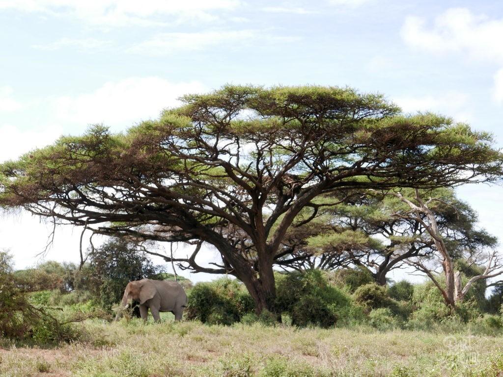 safari au kenya amboseli elephant