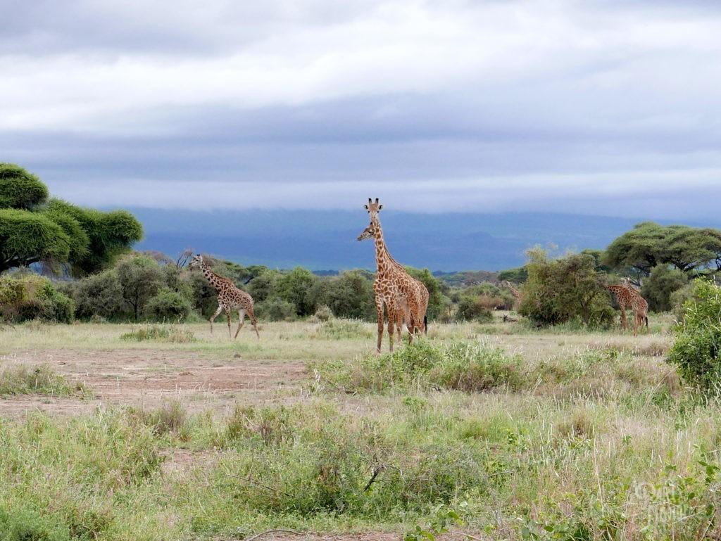 safari au kenya amboseli girafe maasai