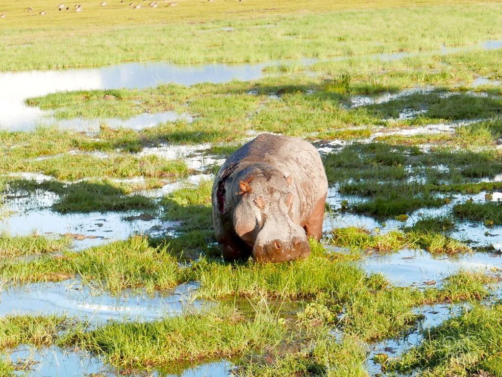 safari au kenya amboseli hippopotame