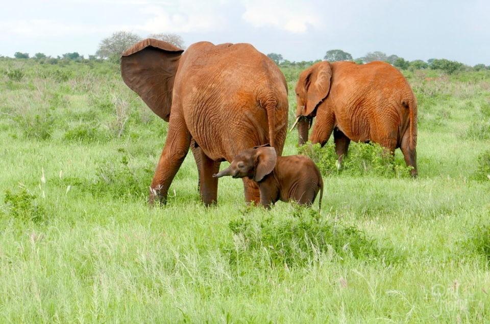 Tsavo Est-Kenya : éléphants rouges et safaris tout en couleur