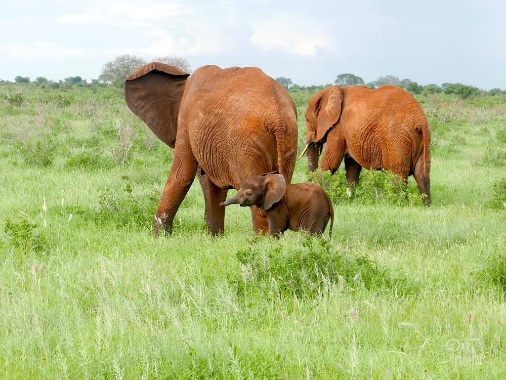 safari au kenya bébé éléphant tsavo