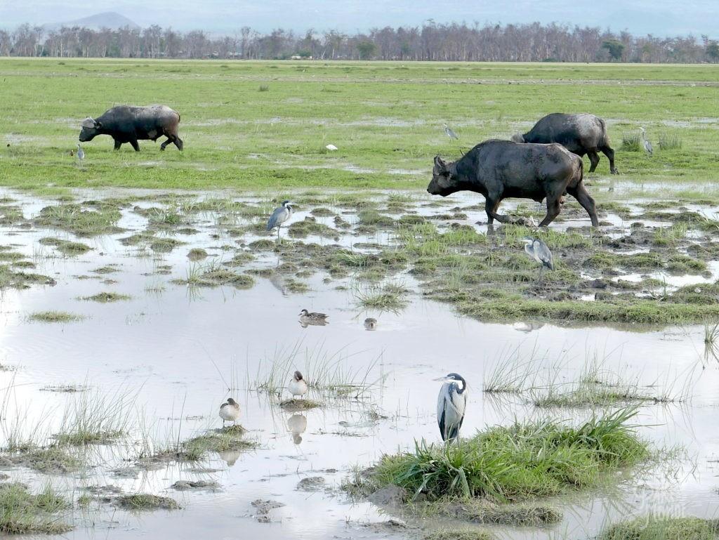 safari au kenya buffle amboseli
