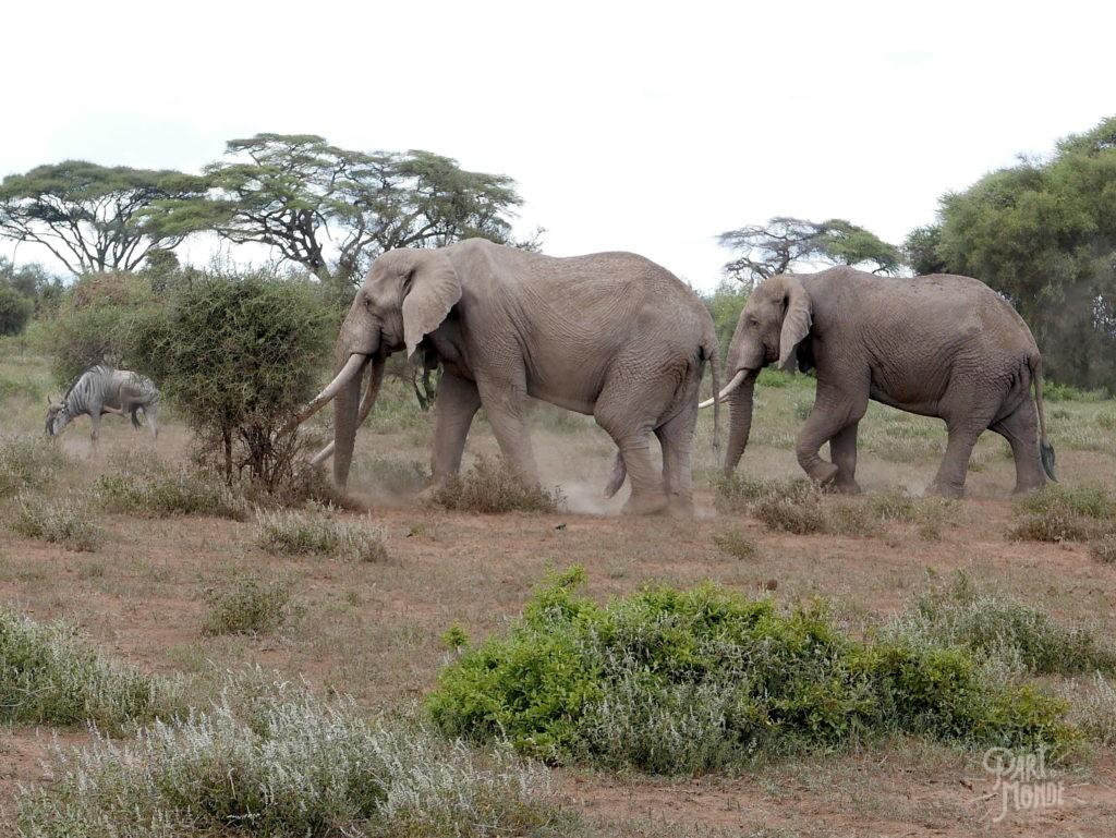éléphants amboseli3