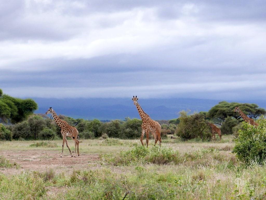 girafe amboseli
