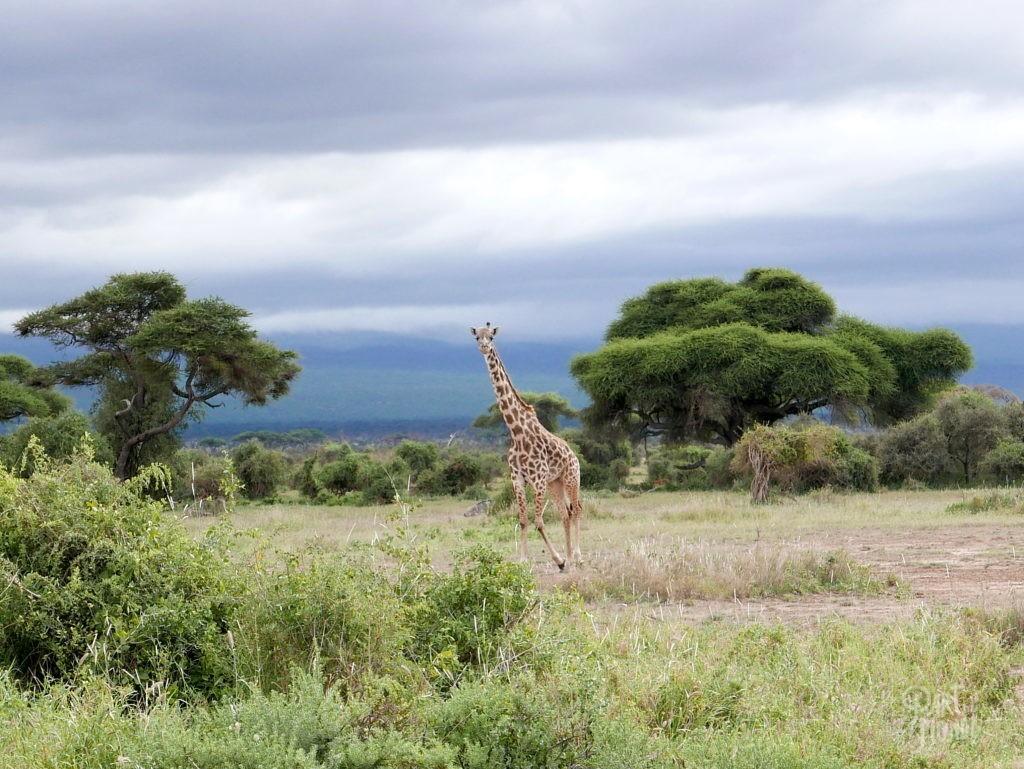 girafes amboseli
