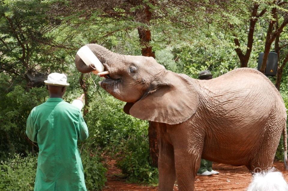 kenya nairobi orphelinat elephant
