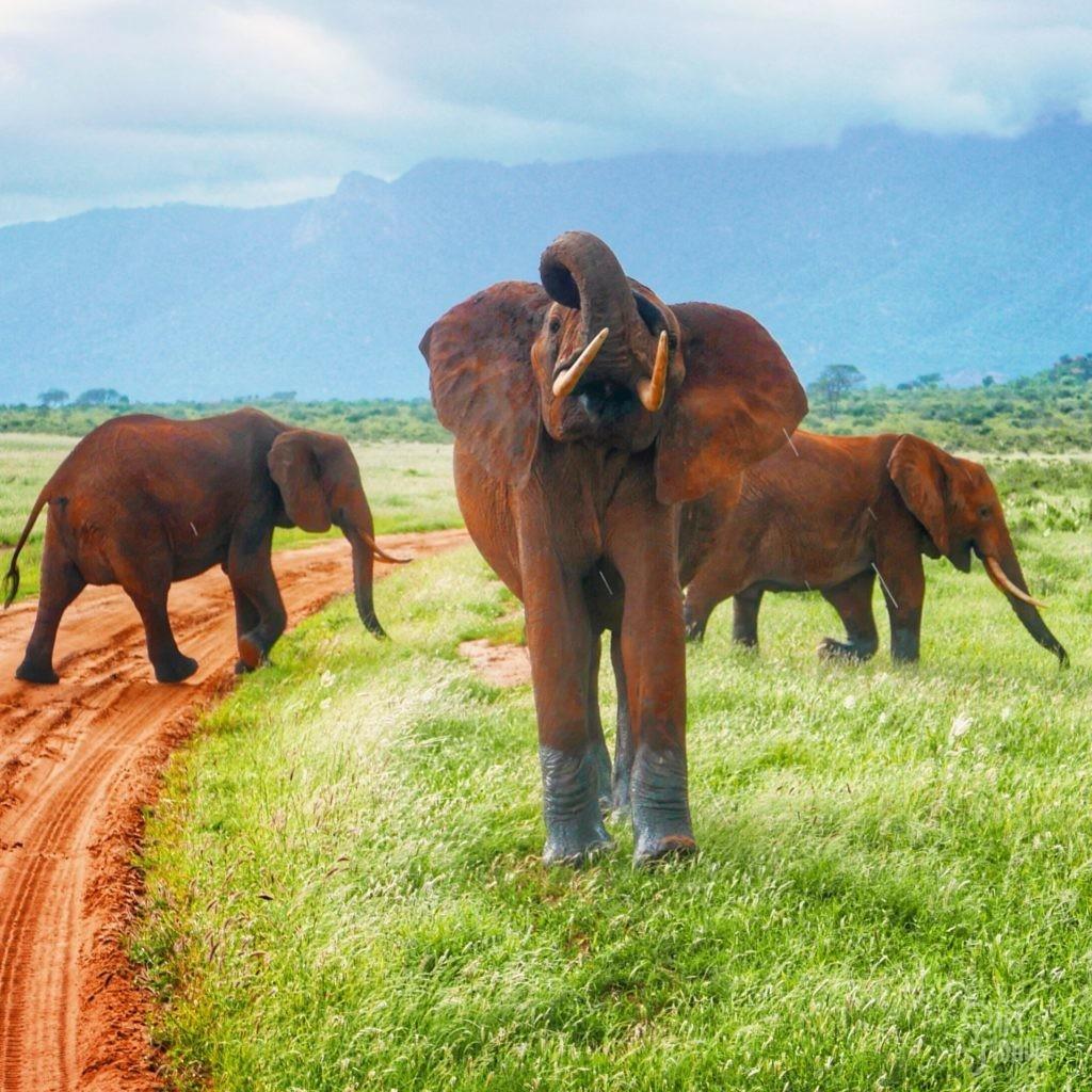 éléphant menaçant tsavo