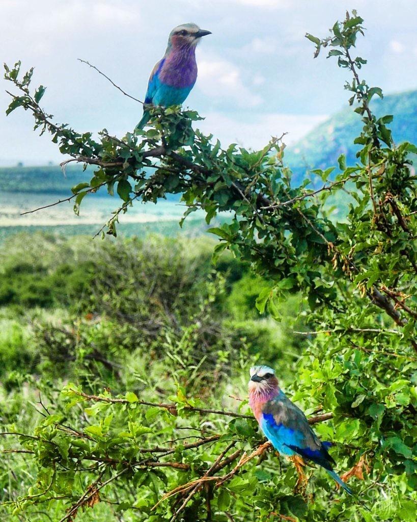 oiseaux coloré rollier à long brin kenya
