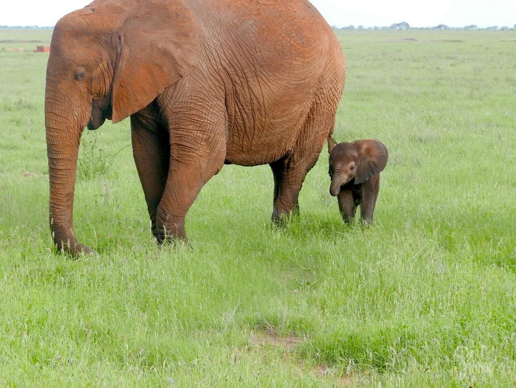 bébé éléphant tsavo est safari