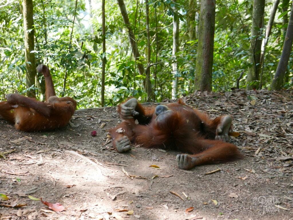 bébé et mina orang outans