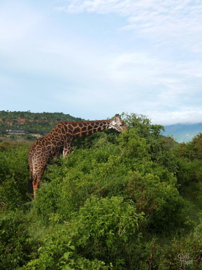 girafe tsavo safari