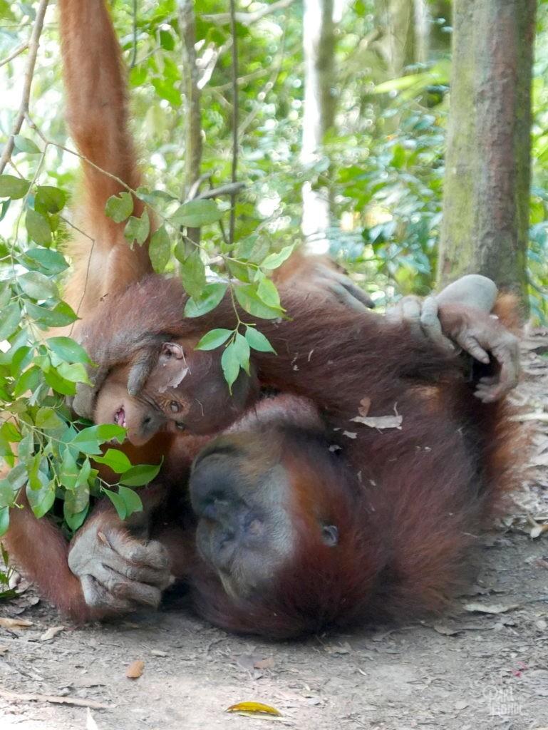 jeux maman et bébé orang outan